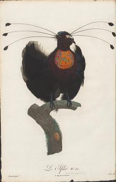 Histoire Naturelle des Oiseaux de Paradis et des Rolliers, suivie de celle des Toucans et des Barbus' by François Levaillant and Jacques Barraband