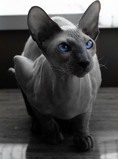 This is what Furry looks like, the cat that Josh bought Brye. (a Peterbald)