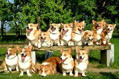 A pack of Corgis = a Corgum