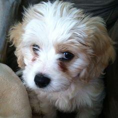 Meet Blanche.. My 10 week old Cavachon.