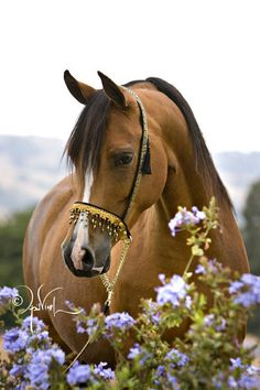 Quail Ridge Arabians :: Arabian Horses, Stallions, Farms, Arabians, for sale - Arabian Horse Network, www.arabhorse.com