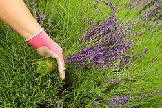 How to correctly harvest a lavender plant.  #LavenderLover