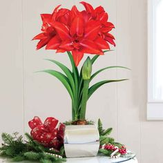 Single Giant Grand Trumpet® Double Delicious Amaryllis: This gift of enormous star-shaped blooms will make the season merry and bright! The Grand Trumpet® Double Delicious is not your ordinary Amaryllis: this long-lasting Am is positively bursting with velvety red petals. It will make a breathtaking decoration in any home. -- This product is no longer available, however click the image to see this year's Amaryllis Bulb Gifts!