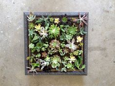picture frames used to create a living succulent wall area