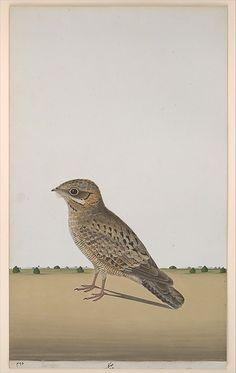 A Common Indian Nightjar (Caprimulgus asiaticus), Opaque watercolor on paper