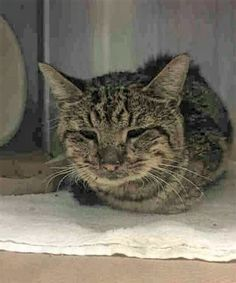 NICK - A1117911 - - Brooklyn  ***TO BE DESTROYED 07/12/17***  SWEET BEGINNER KITTY NICK IS SOCIAL AND AFFECTIONATE AND NEEDS SOMEONE TO GIVE HIM A HOME AND TLC!!  NICK was found walking with some right hind lameness, and has injured paw pads.  He is dehydrated, emaciated, and has a mild cold.  Needs follow up care – please help this friendly, attention-seeking kitty today!  MUST RESERVE NICK BY NOON! -  Click for info & Current Status: http://nyccats.urgentpodr.org/