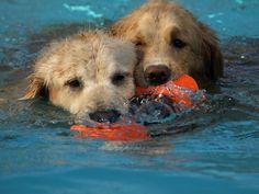 Our Golden Retrievers.  Swimmers and their favorite toy.  One no longer sold ... boo.
