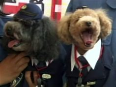 You can't escape the furry paw of the law! A museum in Japan swears in poodle security guards