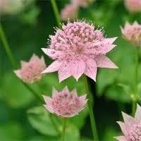 astrantia maxima pink mist Astrantia, Mists, Plants, Pink, Gardens, Green, Plant, Pink Hair, Roses