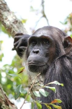 Researchers find that chimpanzees are more likely to reproduce with mates whose genetic makeup most differs from their own. Many animals avoid breeding with parents, siblings and other close relatives, researchers say. But chimps are unusual in that even among virtual strangers they can tell genetically similar mates from more distant ones. Chimps are able to distinguish degrees of genetic similarity among unfamiliar mates many steps removed from them in their family tree.