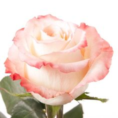 Wholesale Rose Cabaret 40 cm.  $0.92 per stem (250), $.088 (>250 stems)   - Blooms by the Box