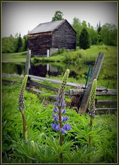 old barn with blue lupines by the pond. IDEA: plant native wildflowers around the slough
