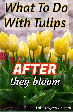 tulips garden care What To Do With Tulips AFTER They Bloom to keep them healthy for next year. Tulips Garden, Cut Flower Garden, Garden Bulbs, Garden Plants, Diy Flower, Shade Garden, Planting Tulip Bulbs, Planting Flowers, Planting Bulbs In Spring
