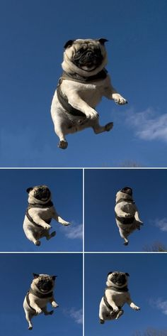 Pug on a trampoline? The longer I look at this, the funnier it gets!