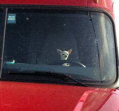 Chihuahua Beware of short drivers! Chihuahua at the wheel LOL Cute Chihuahua, Chihuahua Puppies, Cute Puppies, Cute Dogs, Chihuahuas, Cute Funny Animals, Funny Animal Pictures, Dog Pictures, Puppies And Kitties