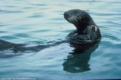 Sea Otters: First listed on Jan. 14, 1977. It is currently designated as threatened. Range: California; Mexico.