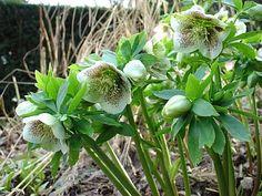 Helleborus orientalis, planten en verzorging Groen.net - uw online tuinman