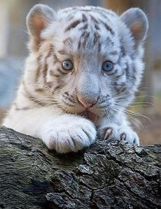 Wild Animals 819303357180215112 - chats sauvages, petit tigre blanc qui a l'air innocent Source by mapatus Baby White Tiger, White Tiger Cubs, Baby Tigers, Cute Tigers, Beautiful Cats, Animals Beautiful, Beautiful Creatures, Beautiful Pictures, Animals And Pets