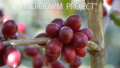 Microfarm Project® ,όταν ο καφές γίνεται limited edition - The FNL Guide Coffee Island, Fruit, Projects, Food, Blue Prints, Essen, Yemek, Tile Projects, Meals