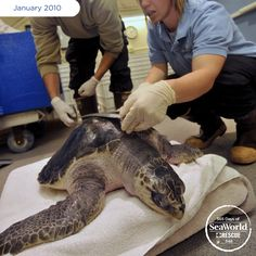 The Oregon Coast Aquarium transported this endangered olive ridley sea turtle to SeaWorld San Diego for the final step of its rehabilitation. #365DaysOfRescue