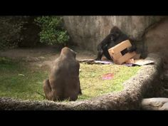 The Real Wild Animals of New Orleans - How to Keep your Gorillas Happy - YouTube
