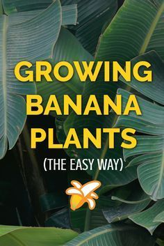 The complete guide to growing banana plants at home. Whether you grow them indoors in a glasshouse, or put them out in your garden during warmer weather banana plants are ideal for providing a tropical feel in your garden. art design landspacing to plant Banana Plant Indoor, Banana Plant Care, Grow Banana Tree, Banana Growing, Home Vegetable Garden, Fruit Garden, Edible Garden, Garden Plants, Indoor Garden