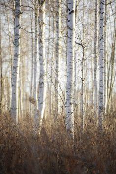 Birch Forest in Dalarna, Sweden - Fotobehang & Behang - Photowall