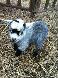 Baby Mini Goat