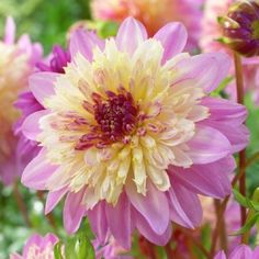 Dahlia Bulbs - Take Off Most Beautiful Flowers, Exotic Flowers, My Flower, Pretty Flowers, Zinnias, Daffodils, Dahlias, Dahlia Flowers, Chrysanthemums