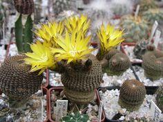 Nová stránka 0 Nova, Cactus