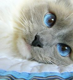 pretty blue eyed siamese