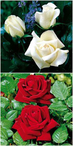 Awesome  Schneewei chen u Rosenrot Eine tolle Kombination die Edelrosen uRoy Black u und Garden