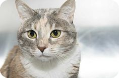 Wendy is a dilute calico cat up for adoption at the Humane Society of New York.