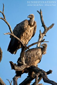A pair of white-backed vultures surveying the surrounding land. White-backed vultures are the most common vultures in South Africa. They are scavengers who feed off carcasses and enjoy soft muscle, organ tissue and bone fragments.  #vultures #klaserie #africaonfoot #birding #birds #kruger #safari