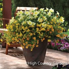Set of 3 Trio planted pots includes Bidens Namid™ 'Compact Yellow', Calibrachoa MiniFamous™ 'Tangerine', Petunia Fame™ 'Yellow'.