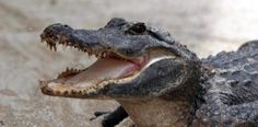 Hombre muere atacado por un cocodrilo en Australia....