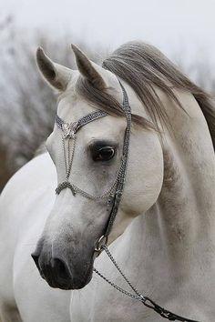 Equus Magnus