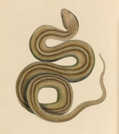 Snake - 1839 - The zoology of Captain Beechey's voyage / compiled from the collections and notes made by Captain Beechey^, the officers and naturalist of the expedition, during a voyage to the Pacific and Behring's Straits performed in His Majesty's ship Blossom, under the command of Captain F. W. Beechey ... .