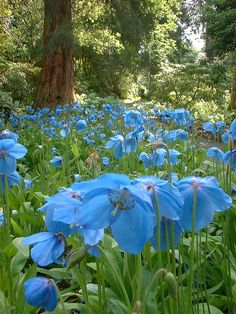 SUNDAY IN THE GARDEN Meconopsis: The Blue Poppy The Himalayan blue poppy 'Meconopsis' isn't really a poppy at all. True poppies belong to the. Beautiful World, Beautiful Gardens, Beautiful Places, Wild Flowers, Beautiful Flowers, Field Of Flowers, Exotic Flowers, Fresh Flowers, Purple Flowers