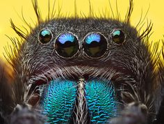 jumping spider -- Phidippus sp (it seems wrong to think any spider is cute)