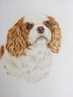 Cavalier King Charles Spaniel, Faber Castell Polychromos coloured pencils on Bristol Board. Painted by Tracy Brock.