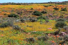 Flowers at Namaqualand National Park