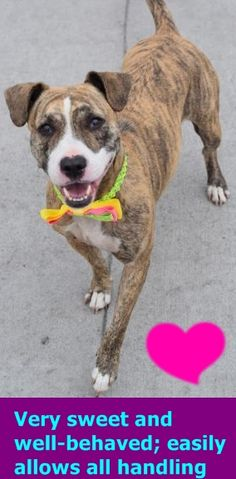 RETURN 08/18/16 NO ANSWER --- SAFE 5-23-2016 --- Brooklyn Center SASSY aka LAILA – A1073463 SPAYED FEMALE, BR BRINDLE / WHITE, AM PIT BULL TER MIX, 1 yr STRAY – STRAY WAIT, HOLD FOR ID Reason STRAY Intake condition UNSPECIFIE Intake Date 05/12/2016 http://nycdogs.urgentpodr.org/2016/05/laila-a1073463/