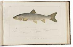 Welcome to the website of Antiquariaat Junk   AGASSIZ, L. & VOGT, C. Histoire naturelle des poissons d'eau douce de l'Europe Centrale. Neuchâtel, aux frais de l'auteur, 1839-1842. 2 volumes. 4to (270 x 180mm., text) & oblong-folio (305 x 480mm., atlas). With 59 (23 fine hand-colour... EUR 5,500.00
