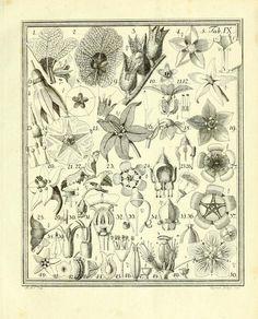 1793 - Das entdeckte Geheimniss der Natur im Bau und in der Befruchtung der Blumen - by Sprengel, Christian Konrad, 1750-1816