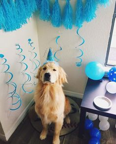 Today I turned 1 year old! Maverick the Golden Retriever ♥