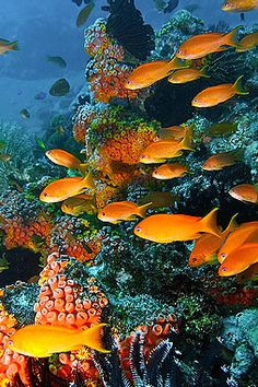 Tropical fish and coral reef: Apo Island
