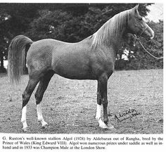 Horses bred or used at the Crabbet Park Stud of England; also, horses tracing in all lines to those used at Crabbet.