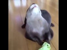 Start your week with this adorable funny happy otter eating lettuce! - YouTube