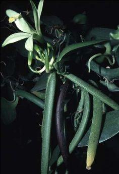 Vanilla flower and ripening fruits.